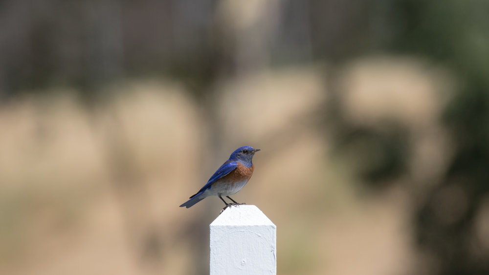 Male Western Bluebird (Sialia mexicana) at the Laguna Niguel Regional Park, California. Not baited. Not called in.