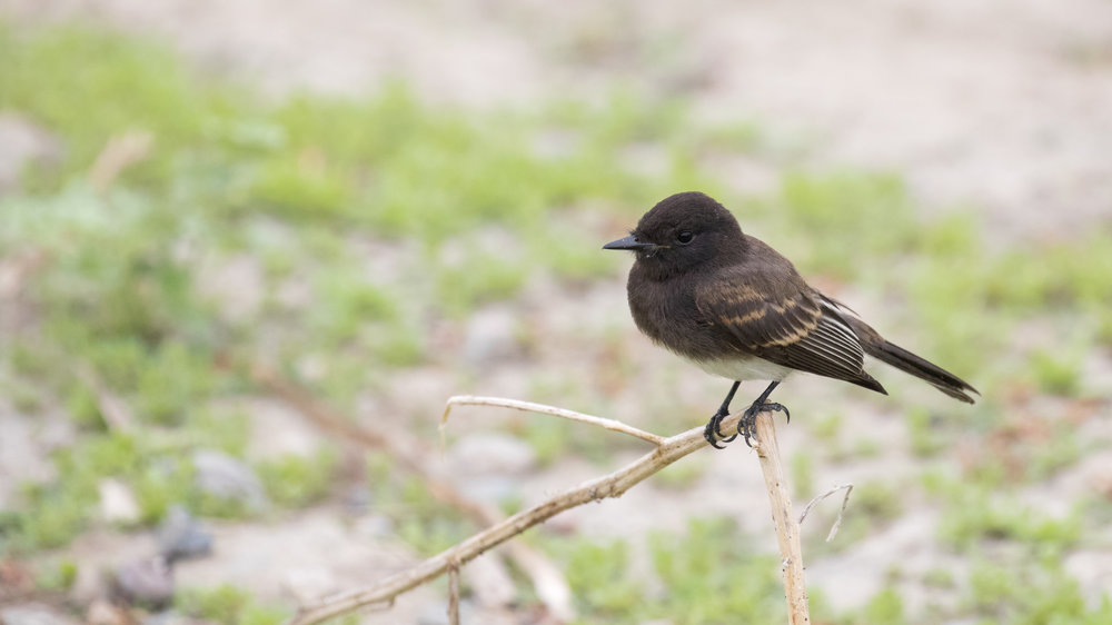 Black Phoebe (Sayornis nigricans) at the Bolsa Chica Ecological Preserve, California. August 2016. Not baited. Not called in.