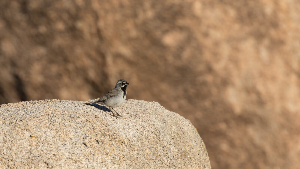 Black-throated Sparrow (Amphispiza bilineata) in Joshua Tree National Park, California. Not baited. Not called in.