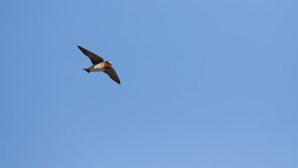 Cliff Swallow (Petrochelidon pyrrhonota) in Oceanside, California. Not baited. Not called in.