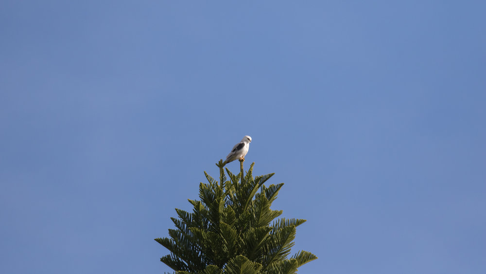 White-tailed Kite (Elanus leucurus) in Aliso Viejo, California. December 2015. Not baited. Not called in.