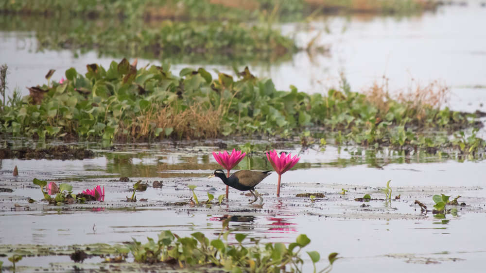 Bronze-winged Jacana (Metopidius indicus) in Kerala, India. February 2015. Not baited. Not called in.