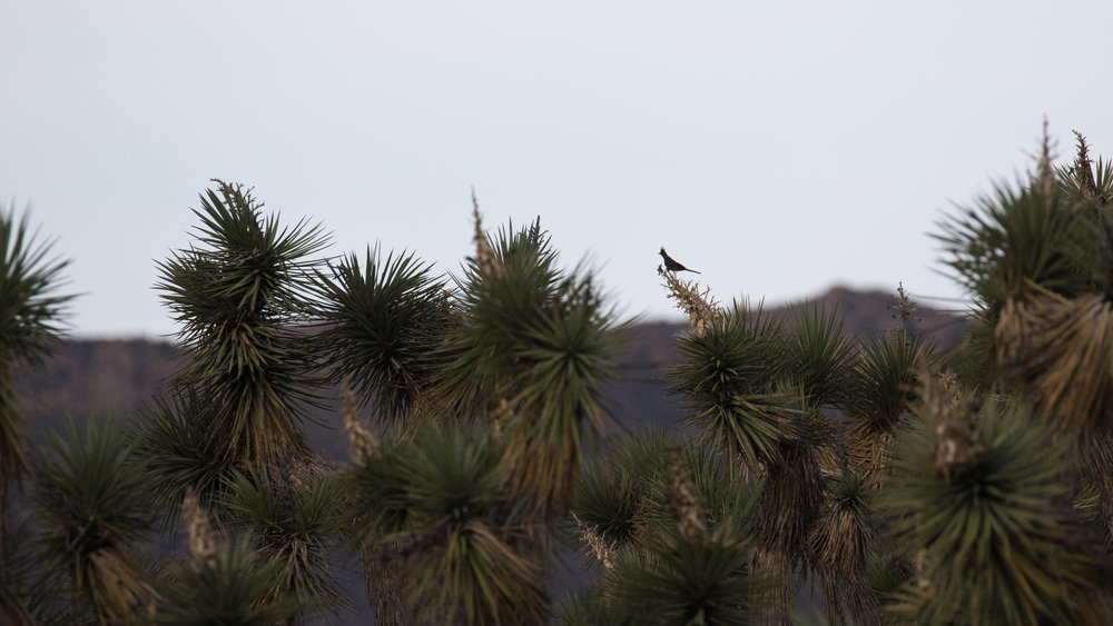 Phainopepla (Phainopepla nitens) in Joshua Tree National Park, California. Not baited. Not called in.