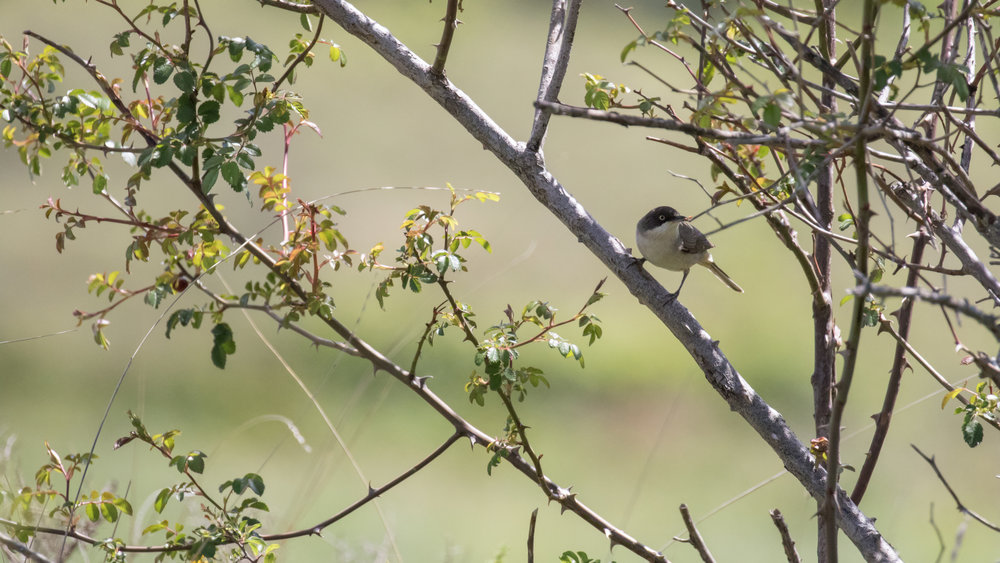 Western Orphean Warbler (Sylvia hortensis) in Drôme Provencale, France. May 2017. Not baited. Not called in.