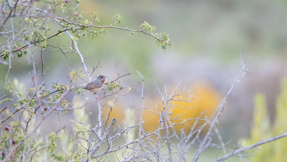 Subalpine Warbler (Sylvia cantillans) in Drôme Provencale, France. May 2017. Not baited. Not called in.