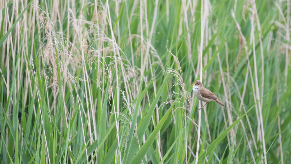 Eurasian Reed-warbler (Acrocephalus scirpaceus) singing at Marais de Sionnet, Switzerland. May 2015. Not baited. Not called in.