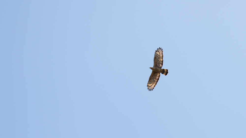 Oriental Honey-buzzard (Pernis ptilorhynchus) in Kerala, India. February 2015. Not baited. Not called in.