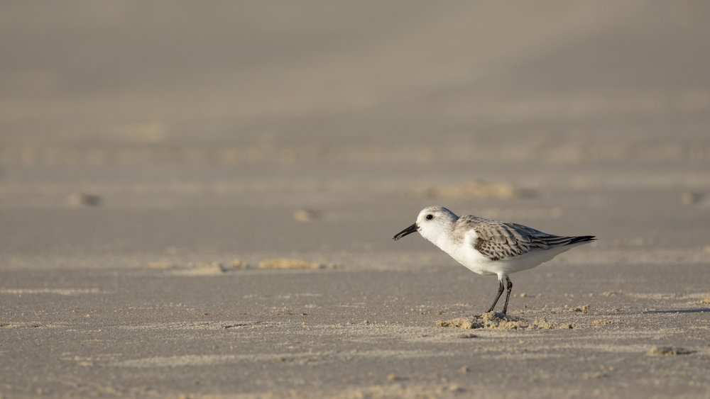 Sanderling (Calidris alba) in Dana Point, California, United States. December 2015. Not baited. Not called in.