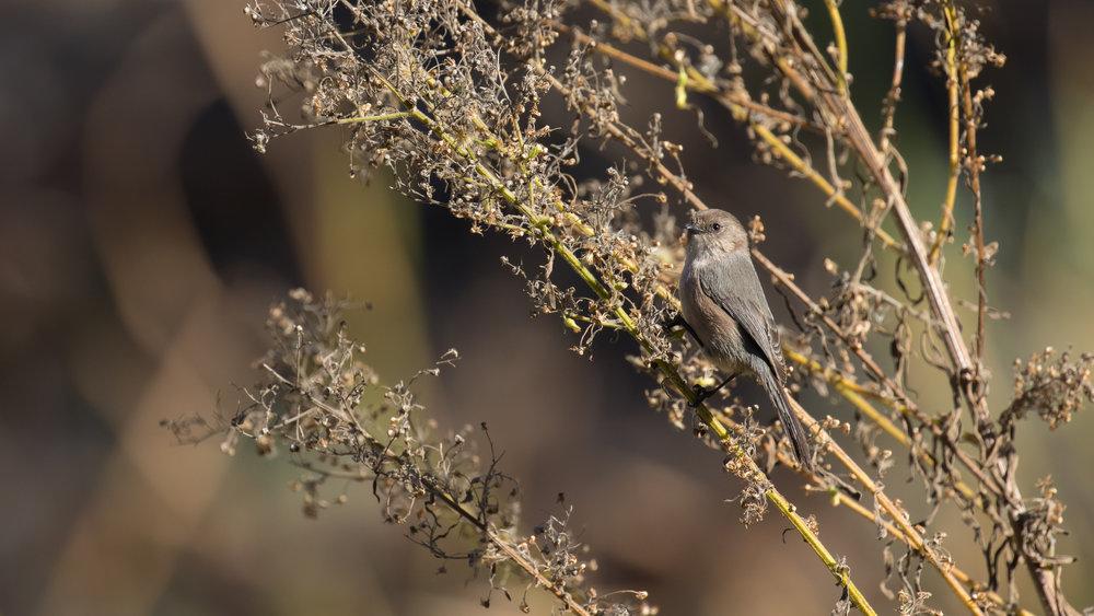 American Bushtit (Psaltriparus minimus) at Laguna Niguel Regional Park, United States. December 2015. Not baited. Not called in.