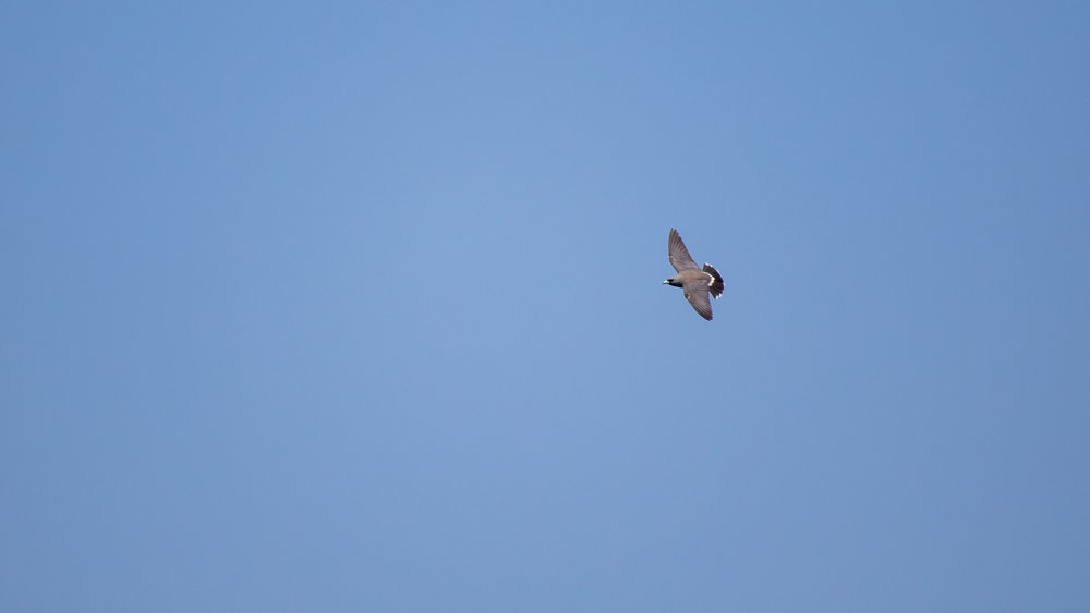 Ashy Woodswallow (Artamus fuscus) in flight above Periyar Lake, Kerala, India. February 2015. Not baited. Not called in.
