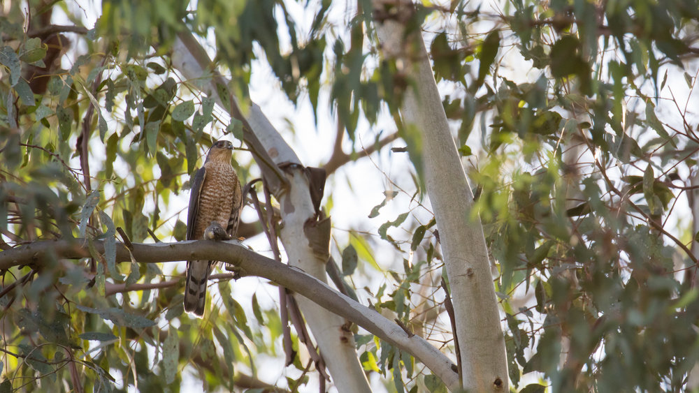 shar-shinned-hawk-with-prey-laguna-niguel-orange-county