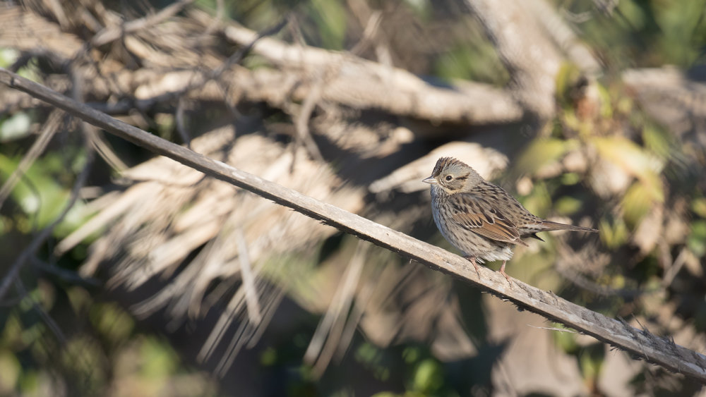 Lincoln's Sparrow (Melospiza lincolnii) at Bolsa Chica Ecological Reserve, Orange County, California. December 2015. Not baited. Not called in.