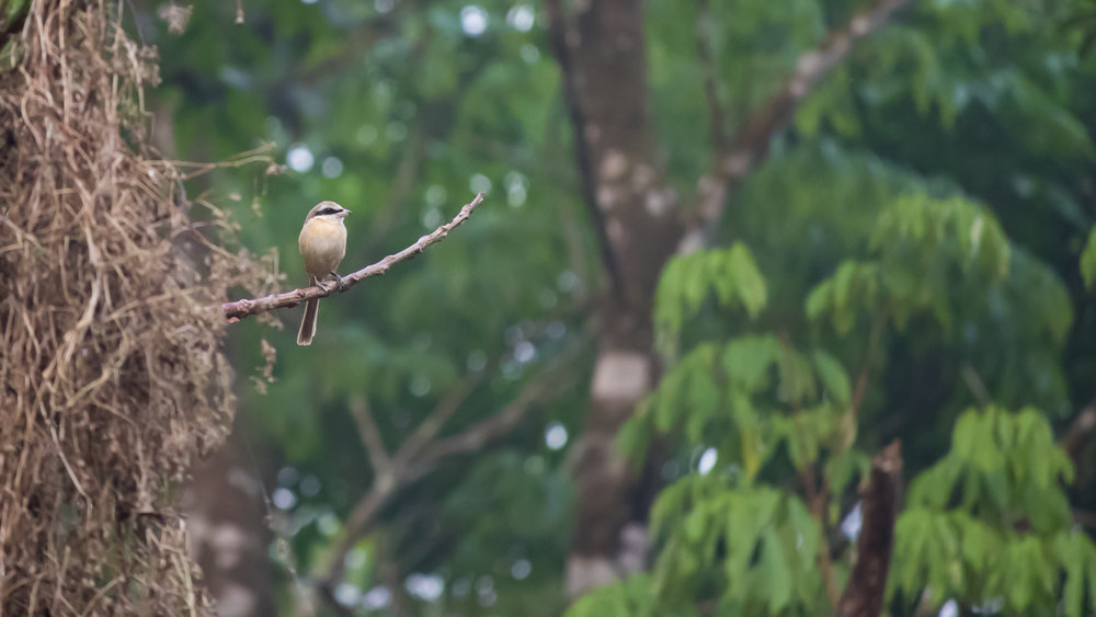 Brown Shrike (Lanius cristatus) in Thattekad Bird Sanctuary, India. February 2015. Not baited. Not called in.