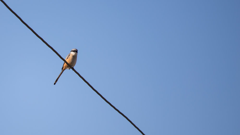 Long-tailed Shrike (Lanius schach) in Munnar region, Kerala, India. February 2015. Not baited. Not called in.