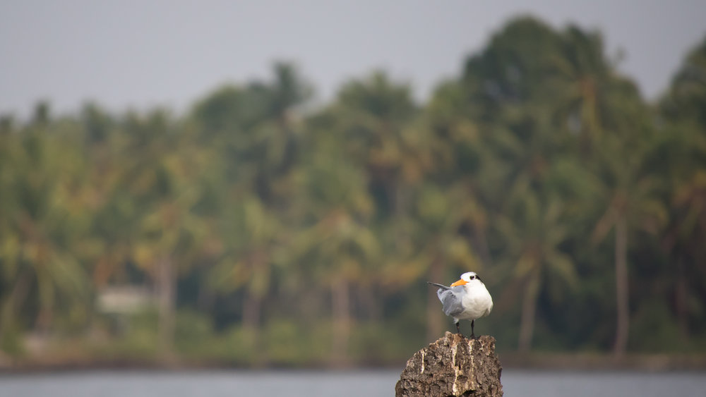 Lesser Crested Tern (Thalasseus bengalensis) in Kerala, India. February 2015. Not baited. Not called in.
