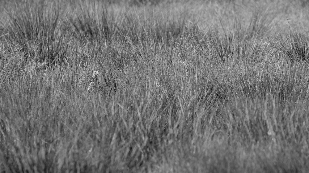 Female Common Pheasant (Phasianus colchicus) at Marais de Sionnet, Switzerland.