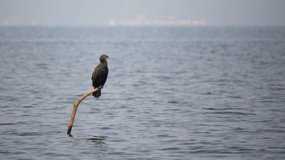 Indian Cormorant (Phalacrocorax fuscicollis) on Lake Vembanad in Kerala, India. February 2015. Not baited. Not called in.