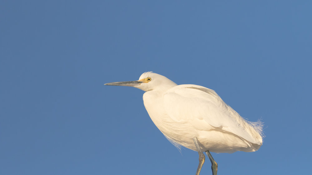 Snowy Egret (Egretta thula) in Dana Point Harbor, Orange County, California. December 2015. Not baited. Not called in.