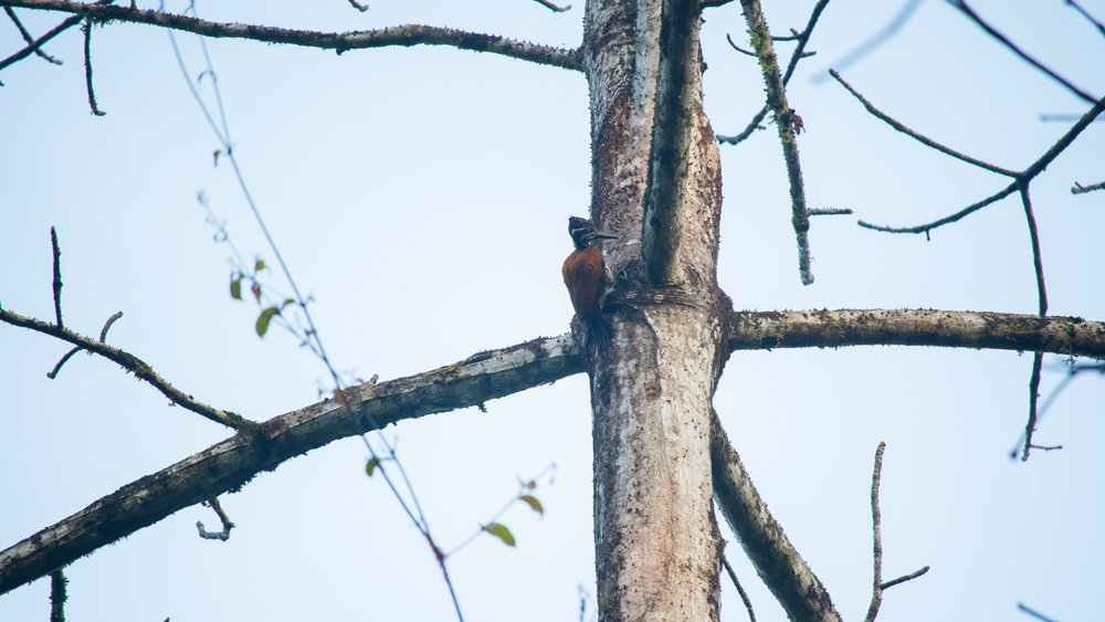 Greater Flameback (Chrysocolaptes lucidus) in Thattekad Bird Sanctuary, Kerala, India. February 2015. Not baited. Not called in.