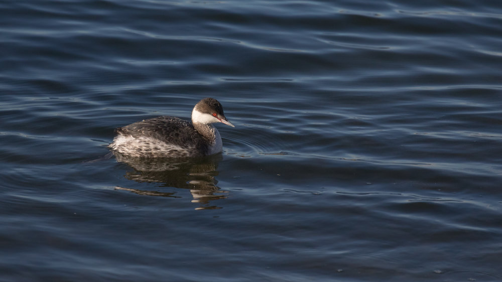 Horned Grebe (Podiceps auritus) at Bolsa Chica Ecological Reserve. December 2015. Not baited. Not called in.