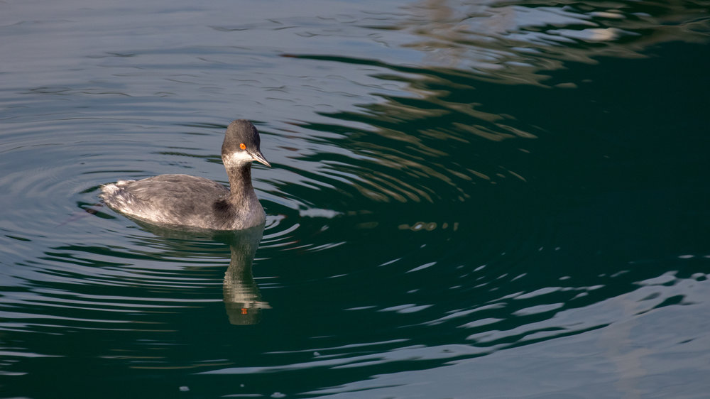 Black-necked Grebe (Podiceps nigricollis) in Dana Point, Orange County, California. December 2015. Not baited. Not called in.