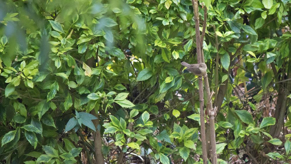 Blyth's Reed-warbler (Acrocephalus dumetorum) near Munnar, Kerala, India. February 2015. Not baited. Not called in.