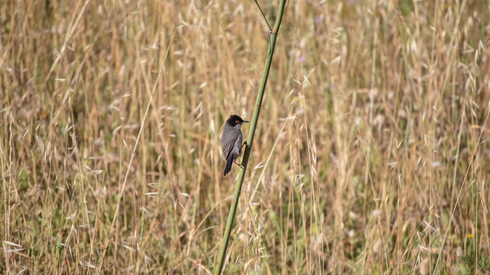 Sardinian Warbler (Sylvia melanocephala)in Colonia de Sant Pere, Mallorca, Spain. May 2015. Not baited. Not called in.