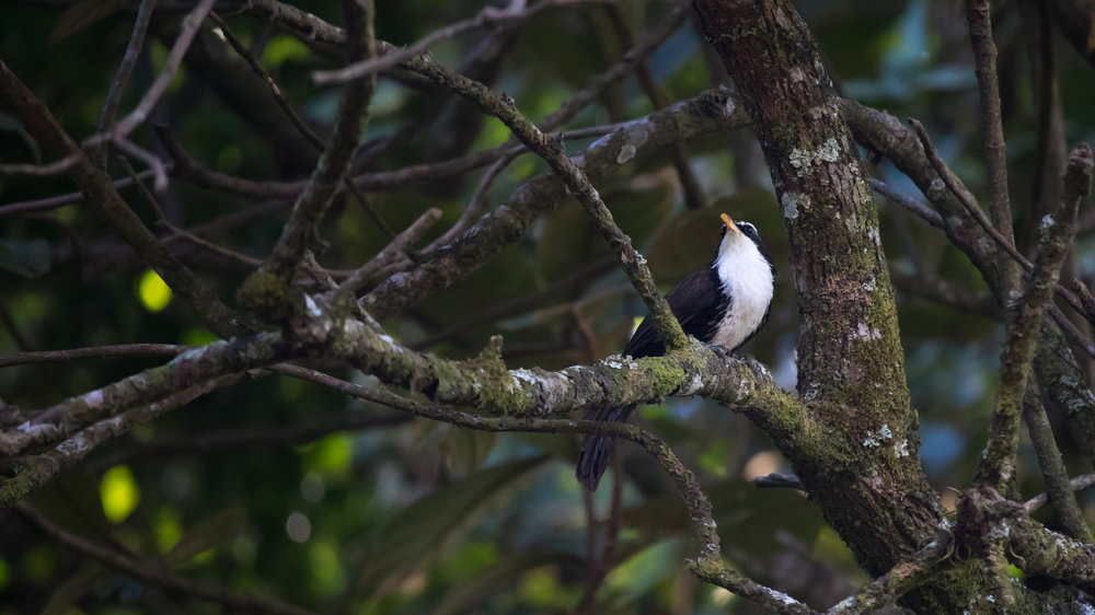 Indian Scimitar-babbler (Pomatorhinus horsfieldii) in Munnar region, Kerala, India. February 2015. Not baited. Not called in.