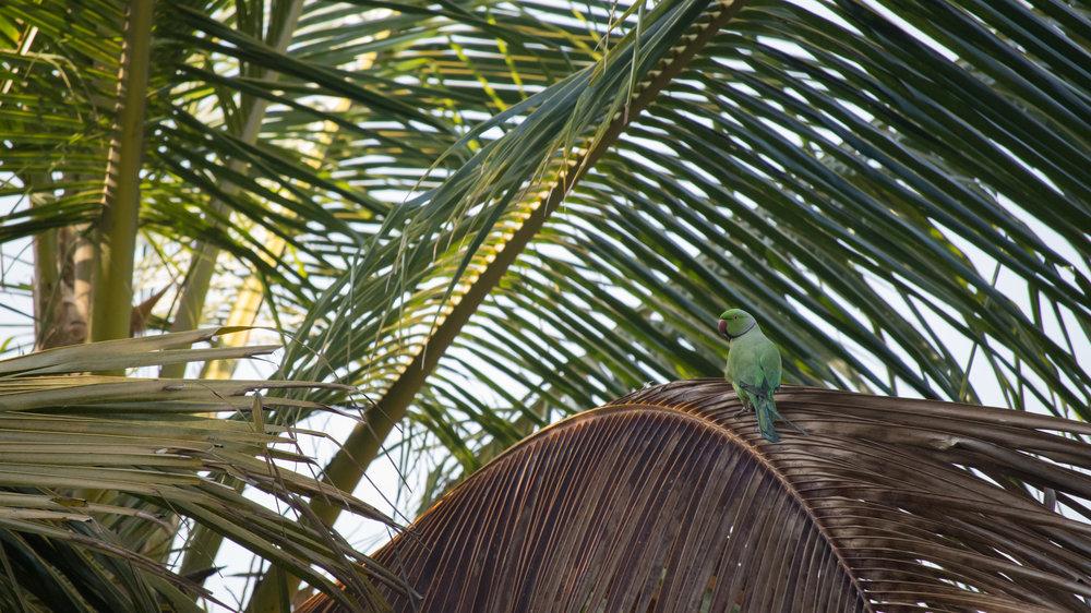 Rose-ringed Parakeet (Psittacula krameri) in Varkala, Kerala, India. February 2015. Not baited. Not called in.