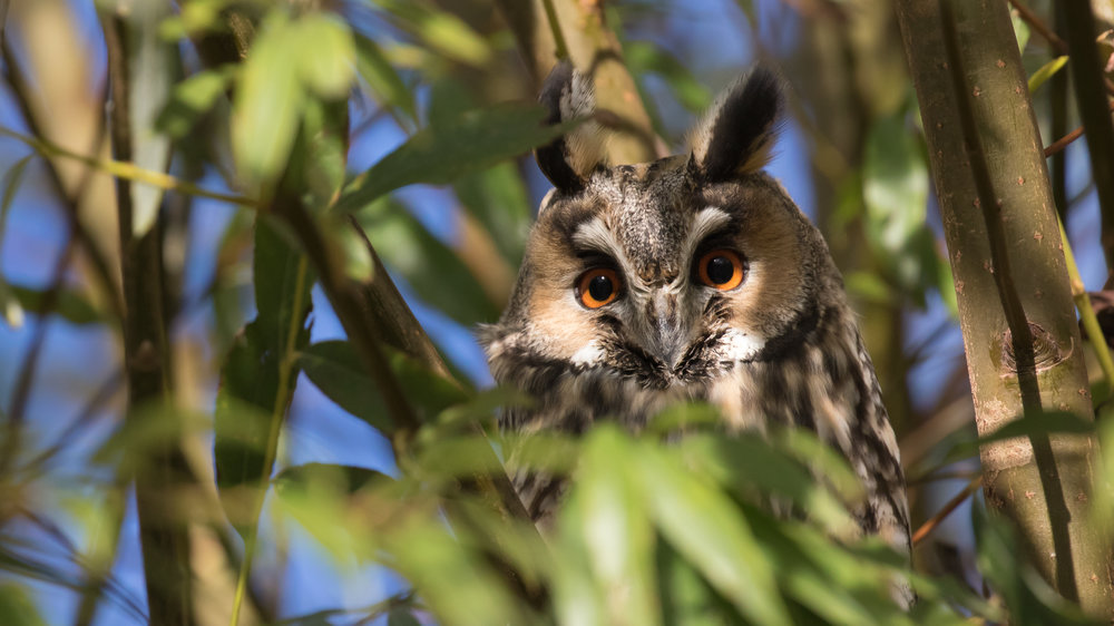 Long-eared Owl (Asio otus) in Giffaumont, France. November 2015. Not baited. Not called in.