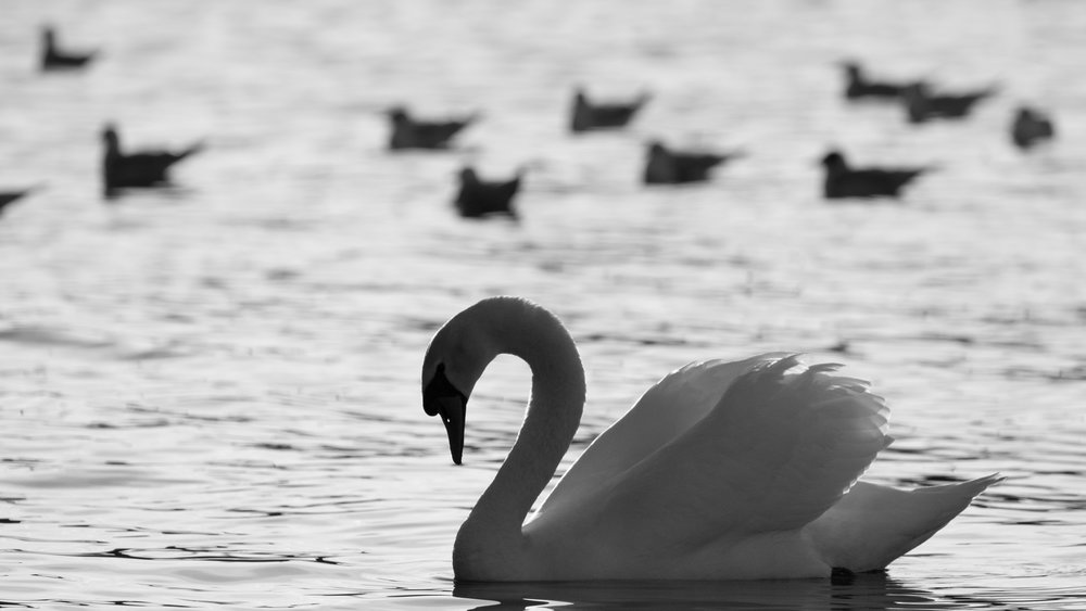 Mute Swan (Cygnus olor) on Lake Geneva, Switzerland. January 2016. Not baited. Not called in.