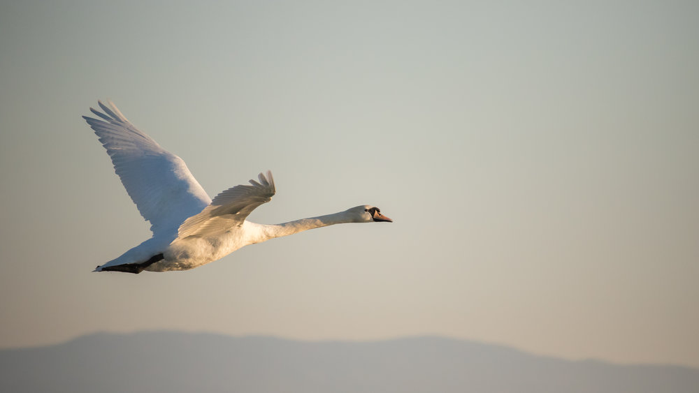 Mute Swan (Cygnus olor) in flight on Lake Geneva, Switzerland. April 2015. Not baited. Not called in.