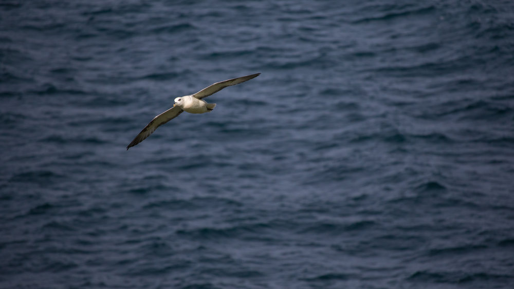 Northern Fulmar (Fulmarus glacialis) off Staffa Island, Scotland. August 2015. Not baited. Not called in.