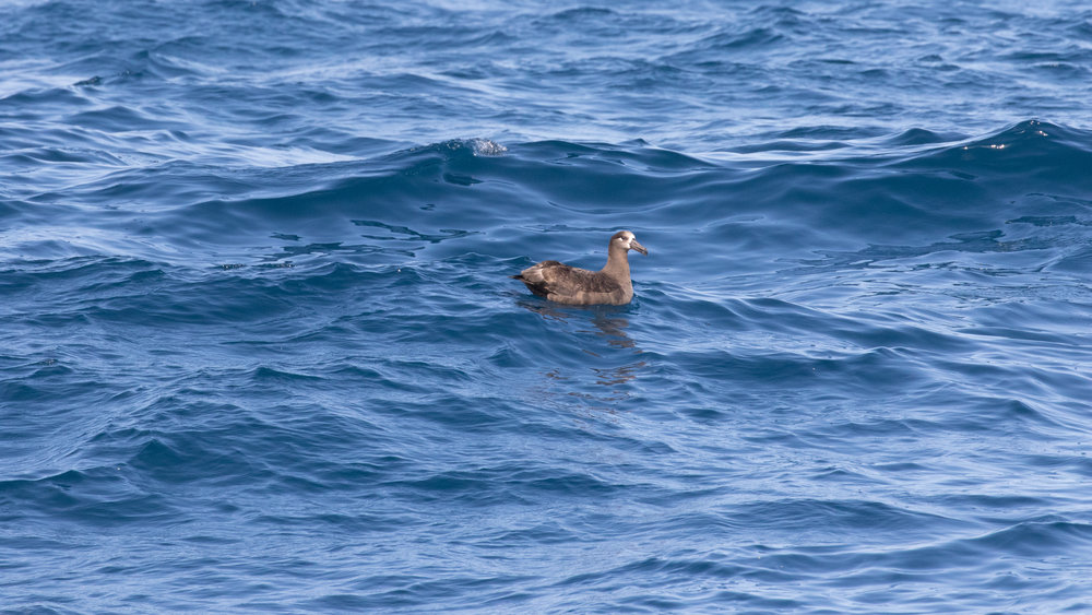 Black-footed Albatross (Phoebastria nigripes),San Diego County, California. June 2017. Baited. Not called in,