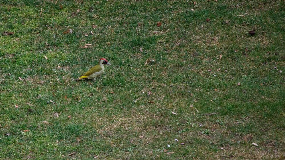 Adult female Eurasian Green Woodpecker (Picus viridis) in Geneva, Switzerland. March 2015. Not baited. Not called in.