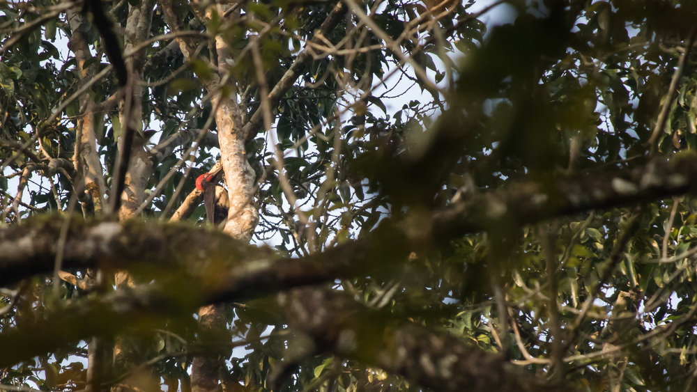 White-bellied Woodpecker (Dryocopus javensis) at Thattekad Bird Sanctuary, Kerala, India. February 2015. Not baited. Not called in.