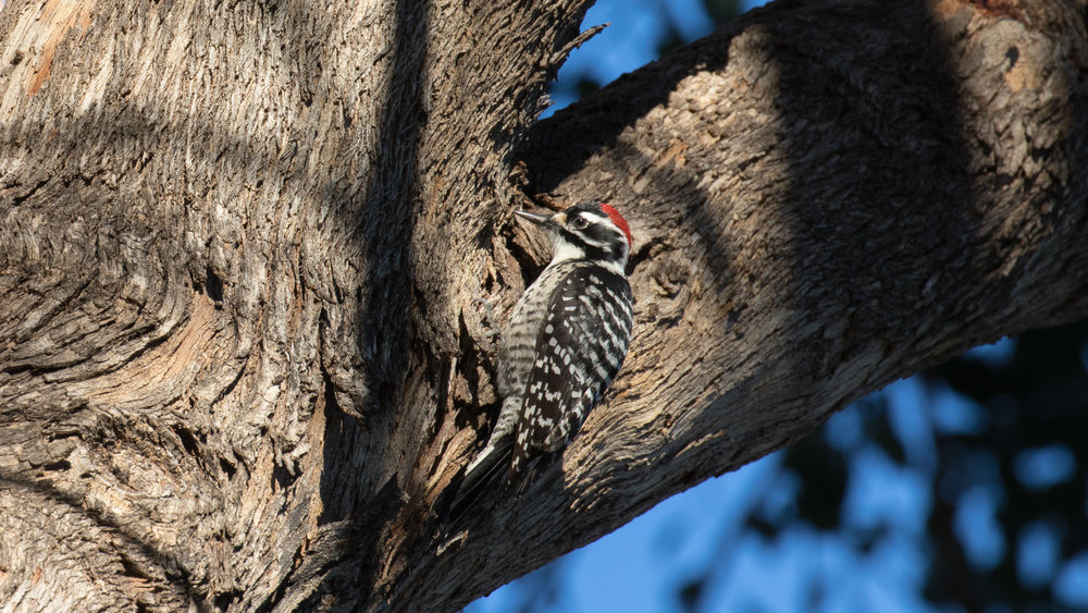 Nuttall's Woodpecker (Dryobates nuttallii) at the Laguna Niguel Regional Park, Orange County, California, United States. December 2015. Not baited. Not called in.