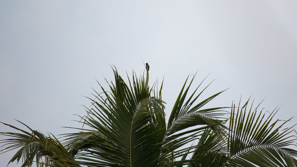 Red-vented Bulbul (Pycnonotus cafer) in Kerala, India. February 2015. Not baited. Not called in.