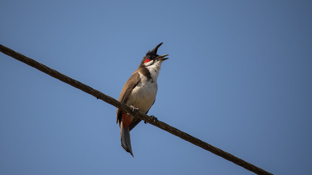 Red-whiskered Bulbul (Pycnonotus jocosus) in Kerala, India. February 2015. Not baited. Not called in.