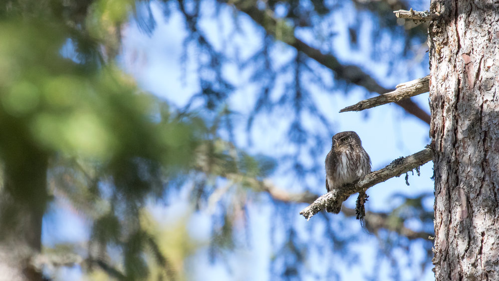 Eurasian Pygmy-owl (Glaucidium passerinum) in France. March 2017. Not baited. Not called in.