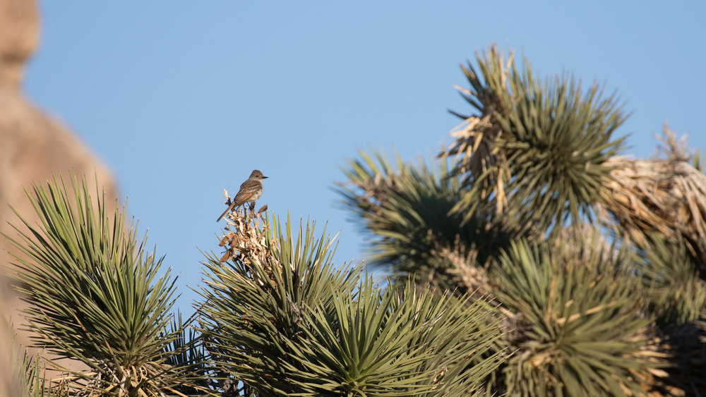 Ash-throated Flycatcher (Myiarchus cinerascens) in Joshua Tree National Park, California. Not baited. Not called in.