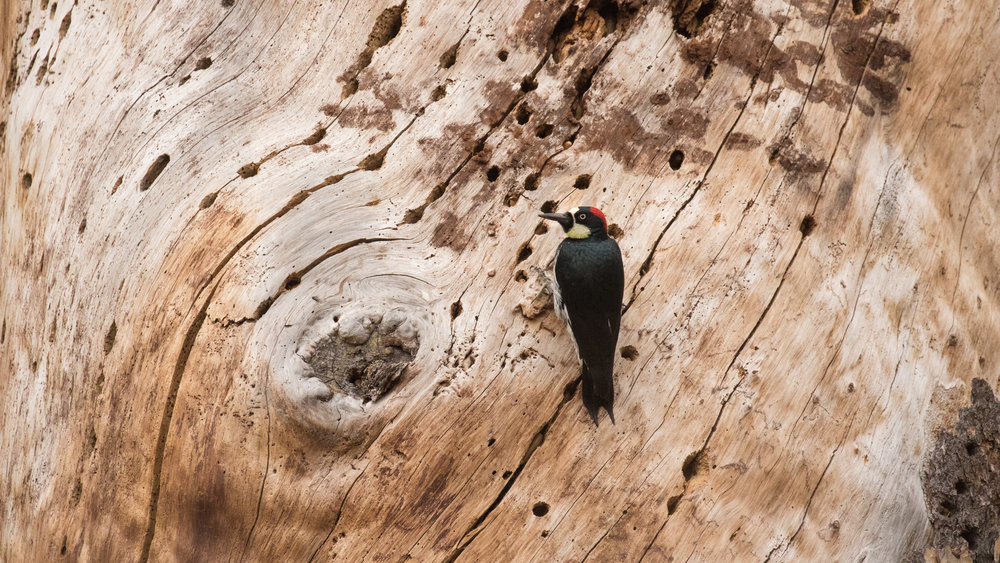 Acorn Woodpecker (Melanerpes formicivorus) in Pinnacles National Park, California. Not baited. Not called in.