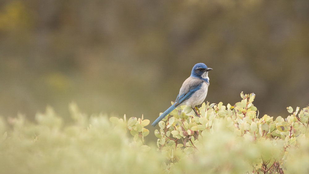 Western Scrub-jay (Aphelocoma californica) in Pinnacles National Park, California, United States. Not baited. Not called in.