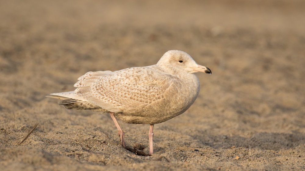 Glaucous Gull (Larus hyperboreus) at Doheny State Beach, Orange County, California. Not baited. Not called in.