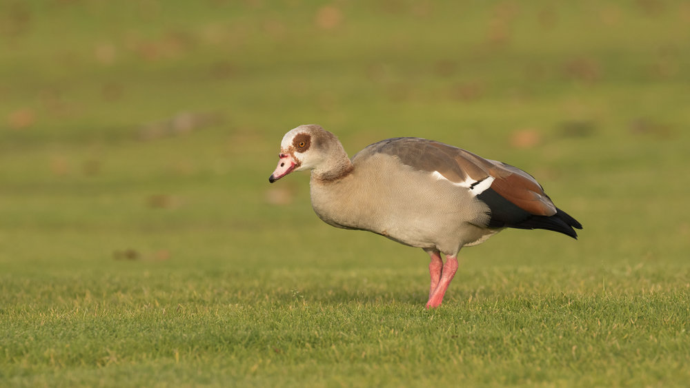 Egyptian Goose (Alopochen aegyptiaca) at Doheny State Beach, Orange County, California. Not baited. Not called in.
