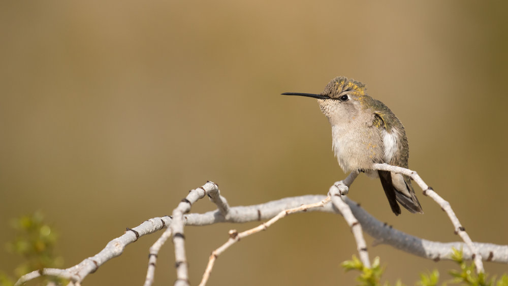 Costa's Hummingbird (Calypte costae) in California. Not baited. Not called in.