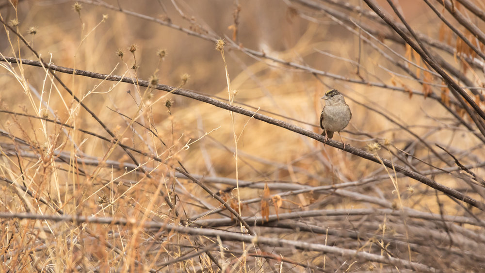 Golden-crowned Sparrow (Zonotrichia atricapilla) at Pinnacles National Park, California. Not baited. Not called in.