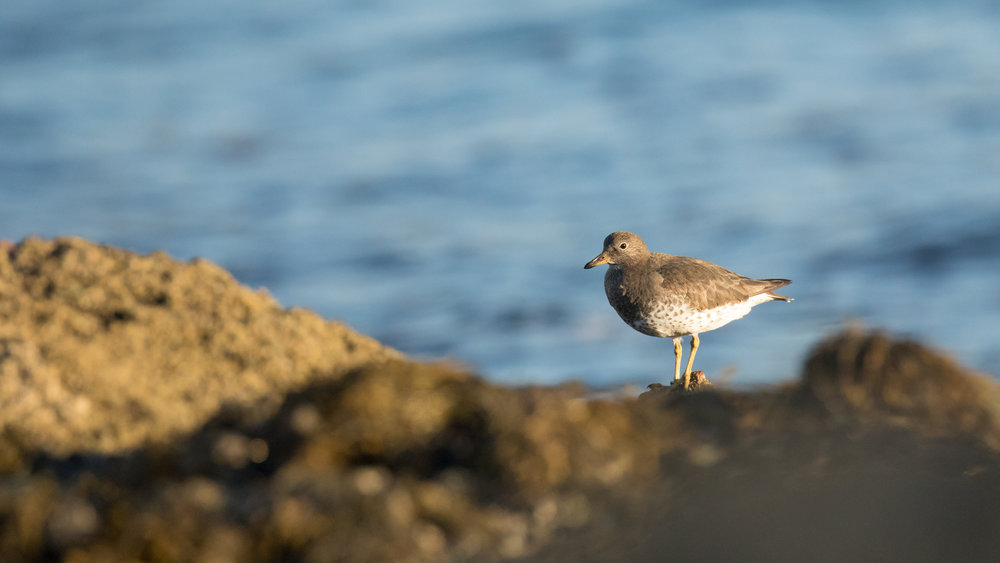 Surfbird (Calidris virgata) in Laguna Beach, Orange County, California