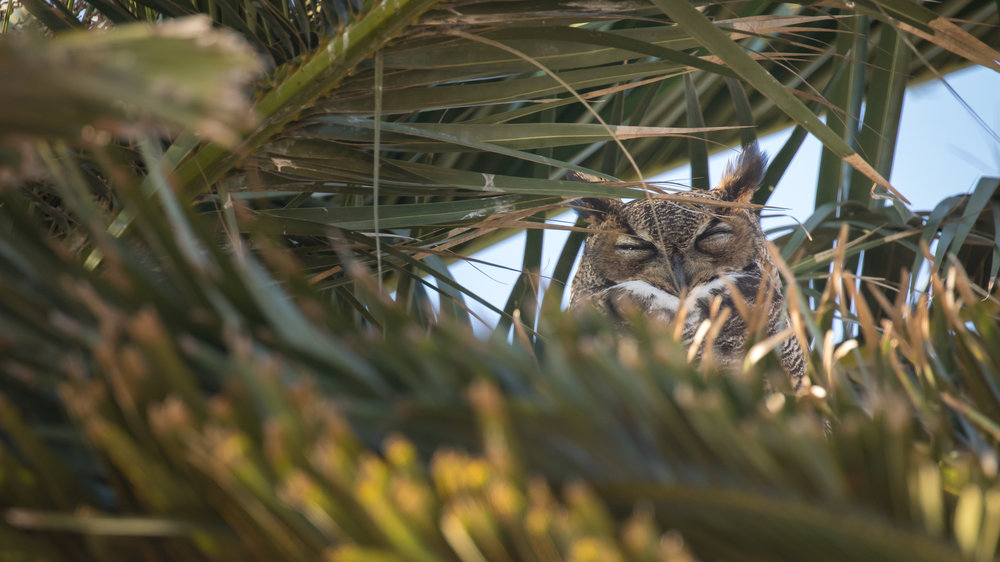 Great Horned Owl (Bubo virginianus) at Bolsa Chica Ecological Reserve, Orange County, California. Not baited. Not called in.
