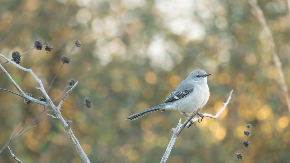 Northern Mockingbird (Mimus polyglottos) in Laguna Niguel, Orange County, California. Not baited. Not called in.